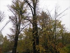 ハルニレ 黄葉