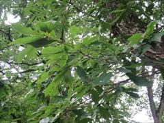中庭のドングリの木