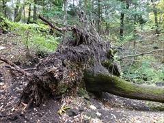 御膳水 根こそぎ倒木