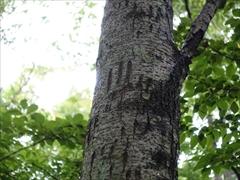 ツキノワグマの爪痕