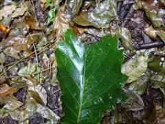 ムササビが食べた葉(食痕)