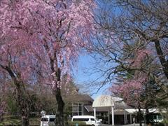 プリンスホテル 入口の枝垂れ桜