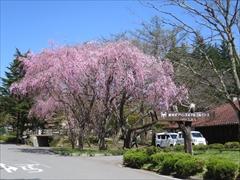 プリンスホテル 枝垂れ桜 満開