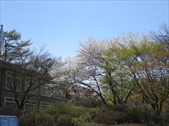 プリンスホテル 正面入口 桜