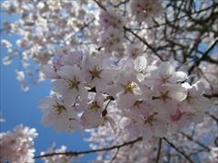 プリンスホテル 満開の桜