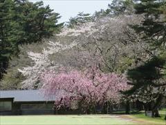 プリンスホテル 枝垂桜と山桜