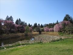 プリンスホテル コテージと桜