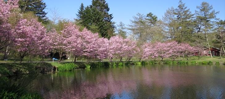軽井沢 プリンスホテルウエスト 池の周りの桜並木が満開