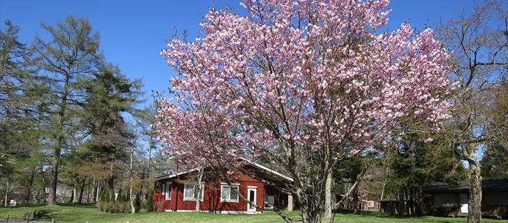 軽井沢 プリンスホテルウエスト コテージの周辺の桜が満開