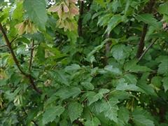 ウリカエデの葉