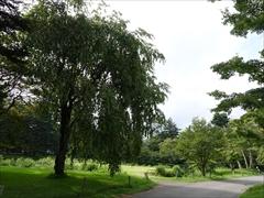 正面庭の枝垂れ桜の木