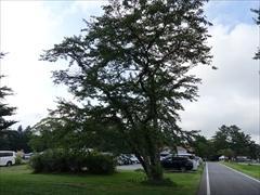 テニスコート先の桜の木