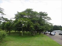ホテル駐車場の桜の木