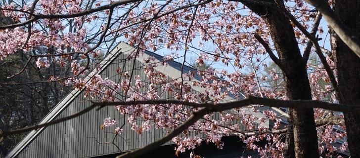 軽井沢 村民食堂の駐車場の桜が満開です 2018年4月22日