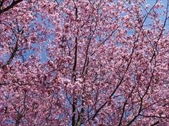 聖パウロカトリック教会 桜満開
