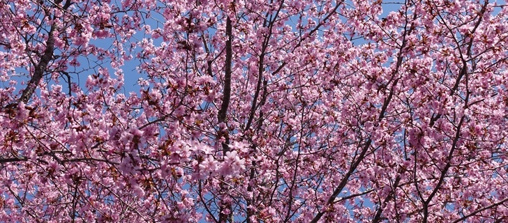 聖パウロカトリック教会のヤマ桜が満開です 2018年4月21日
