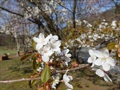 トンボの湯 正面ヤマ桜