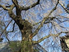 神宮寺 枝垂れ桜 満開