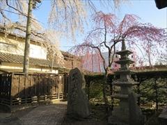 神宮寺境内 桜