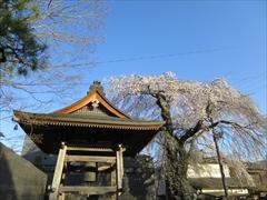 神宮寺の鐘 枝垂れ桜