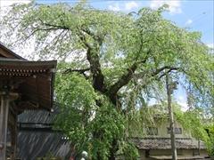 神宮寺の枝垂れ桜の新緑
