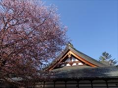 神宮寺本殿 ヤマザクラ 5分散り