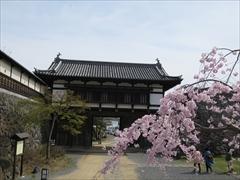 小諸城址 大手門 桜