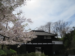小諸城址 三の門 桜