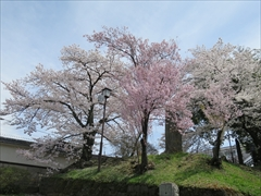 小諸城址 三の門付近 桜
