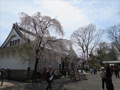 小諸城址 懐古園事務所 桜