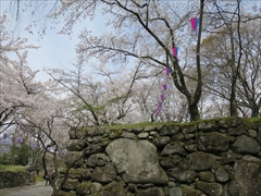 小諸城址 本丸跡付近 桜