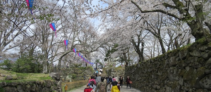 小諸城址 本丸跡付近の桜