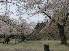 小諸城址 天守台方向 桜