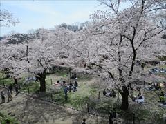 小諸城址 天守台から桜