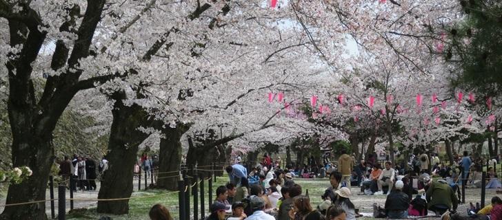 小諸城址 満開の桜の木に囲まれた馬場で宴会