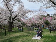 小諸城址 馬場 桜