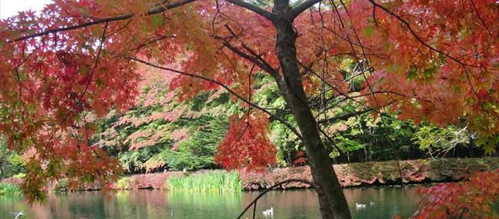 雲場池の紅葉がもう少しで見頃