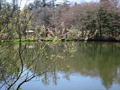 雲場池 ネコヤナギ