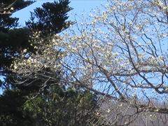 雲場池 コブシの花