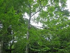 オニグルミの木