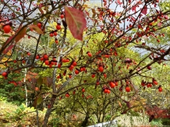 軽井沢 雲場池 雲場池 ニシキギ 紅葉