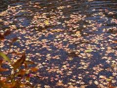 軽井沢 雲場池池の水面に落ち葉