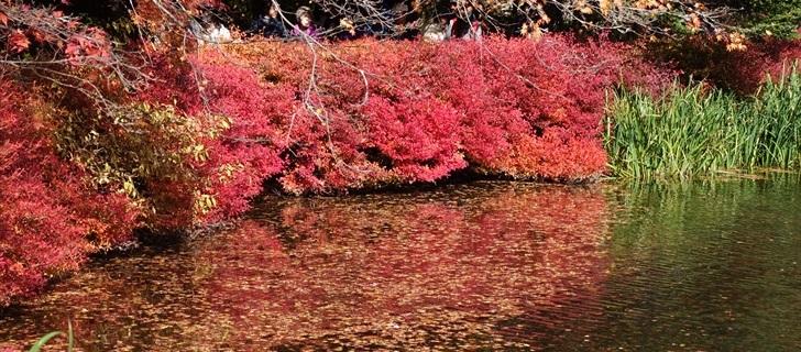 軽井沢 雲場池 軽井沢 雲場池の紅葉が散り始めています、池の水面に落ち葉