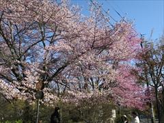 旧軽ロータリー オオヤマ桜