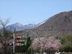 浅間山・離山を望む桜