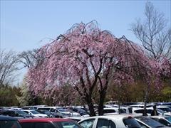アウトレット駐車場桜