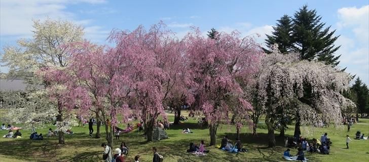 軽井沢アウトレットのツリーモールの枝垂れ桜が満開