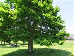 ツリーモール こしぶの木