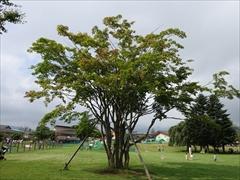 ツリーモール カエデの木