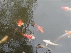 軽井沢 アウトレット ニューイースト 池の鯉